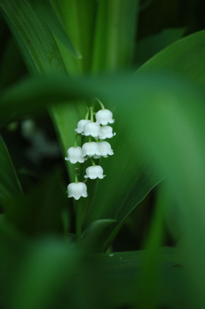 even more lilly of the valley